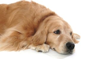 Laser Therapy for Chronic Pain in Dogs at Reed Animal Hospital