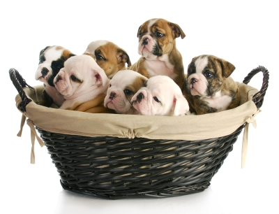 English Bulldogs Health Problems explained by Reed Animal Hospital