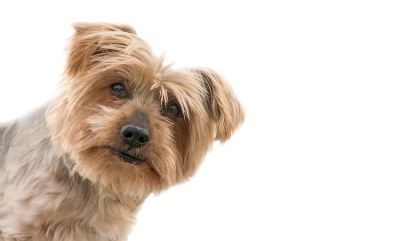 Learn about pyoderma in Dogs